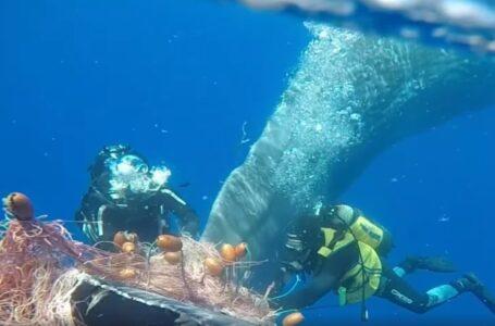 В Італії водолази врятували кита, який заплутався у рибальських сітках