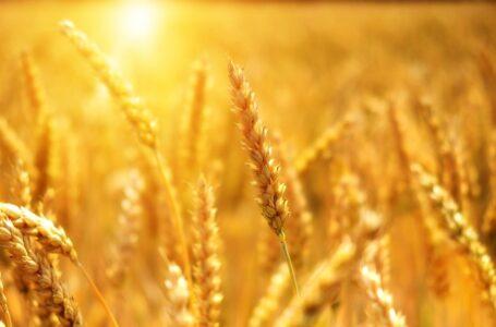 Єгипет хоче купувати більше українського зерна