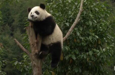 У Китаї 14 панденят відсвяткували свій перший день народження