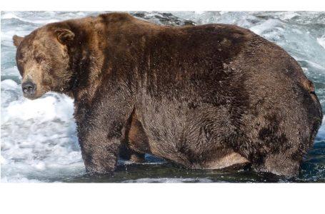 На Алясці визначили найтовстішого ведмедя