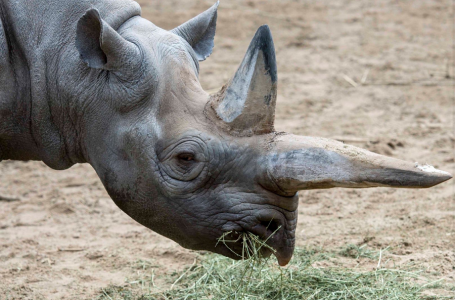 У Берлінському зоопарку приспали найстарішу у світі самку чорного носорога