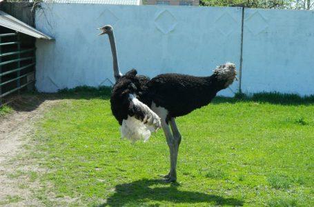 В Африці страус став учасником велогонки