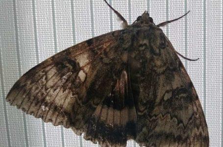 Майже як птах: у Чорнобилі виявили величезного метелика